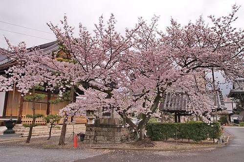 【写真】桜 : 妙蓮寺