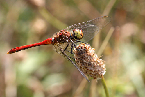 Common Darter Sympetrum striolatum (m)
