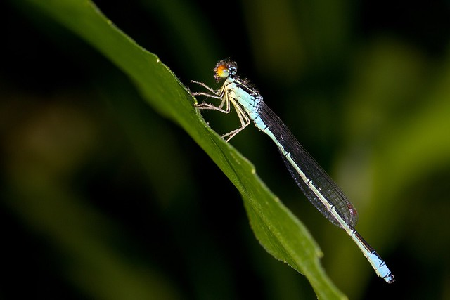 A Rainbow Bluet (Enallagma antennatum), covered in scales and bristles from the wings of a plume moth it has just eaten.