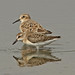 A Comparison of Baird's Sandpiper and Semipalmated Sandpiper by Don Delaney