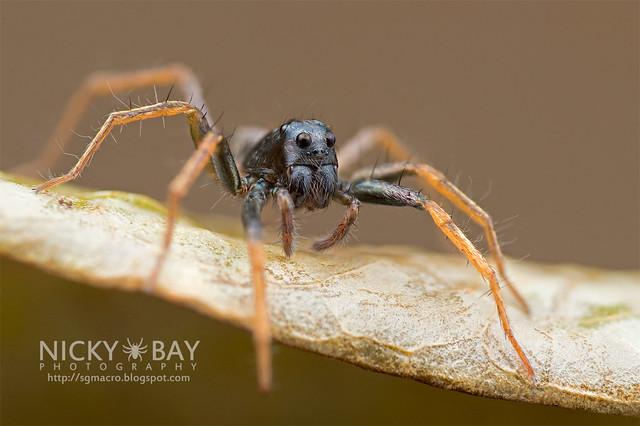 Wolf Spider (Lycosidae) - DSC_3425