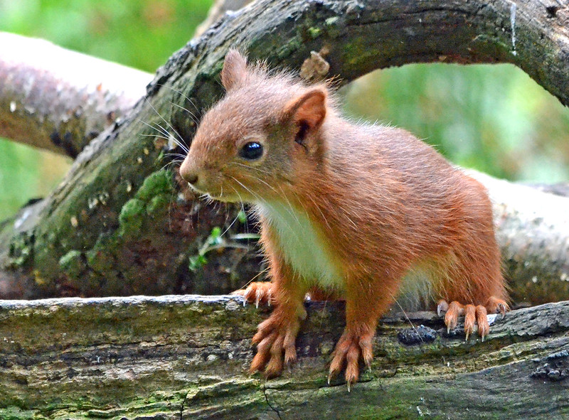 Red Squirrel - Montreathment Forest by Katie-louise1962