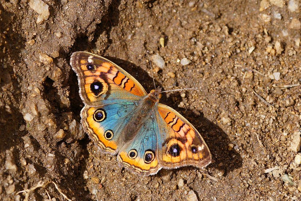 南美蛺蝶 Junonia evarete-1