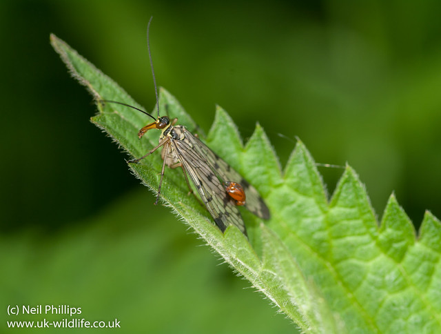 scorpionfly-4