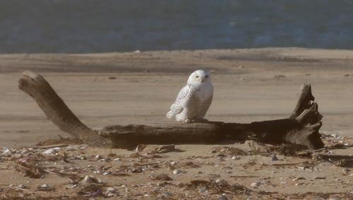 Snowy Owl, Dare Co, NC - Nate Swick