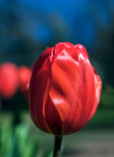 The Red Tulip:
