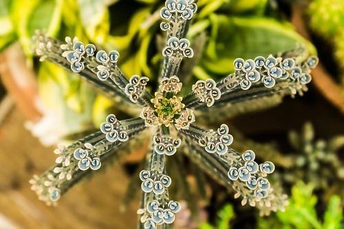 cactus india closeup succulent dof samsung crop chennai topview tamilnadu jaya kumar motherofthousands kumaravel kalanchoedelagoensis chandelierplant nx100 samsungnx samsungnx100 jayasgarden nx100samsung