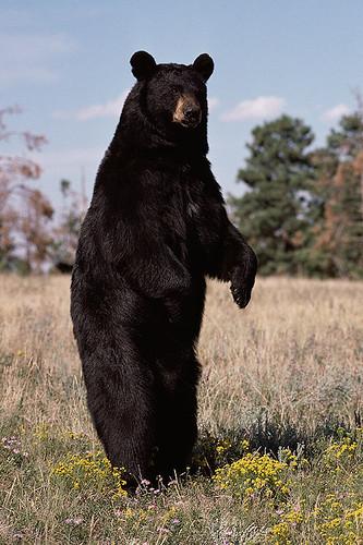Wildlife in British Columbia, Canada: Black Bear / American Black Bear