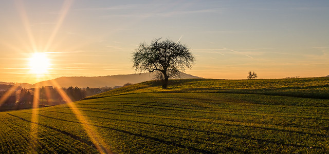 Sunset over the field with the lonely tree