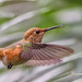 Female Allen's Hummingbird - Huntington Central Park by SARhounds