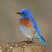 California: Western Bluebird by spiderhunters
