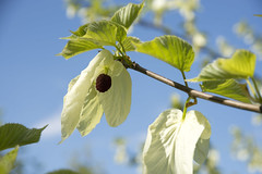 Discover this handkerchief tree in the Arboretum