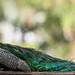 Peacock Pano by Ingrid Taylar