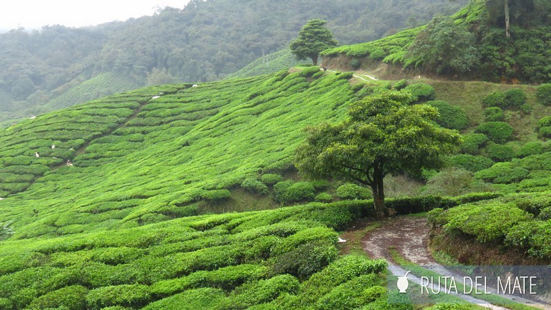 Cameron Highlands Malasia (7)