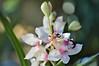 Zimbali orchids