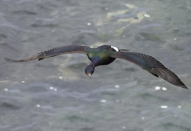Pelagic Cormorant (take II)