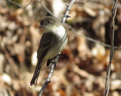 Eastern Phoebe/ California Woods/ 4-2-2017