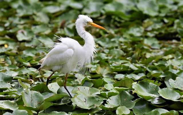 Intermediate egret Mesophoyx intermedia