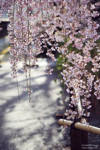 地蔵院枝垂れ桜 20170327-IMG_9024-1