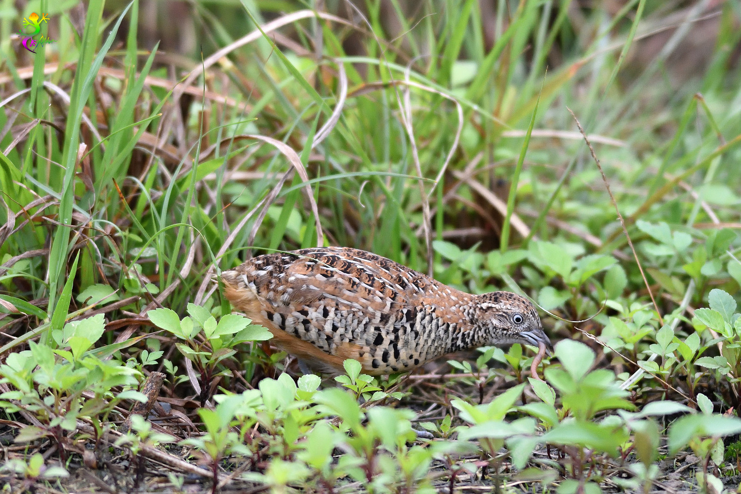 Barred_Buttonquail_9182
