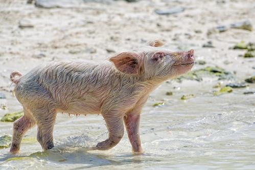 young sow walking profile sand pink pig swimming exuma cay cute sea beach bahamas island vacation nikon d5