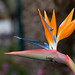 Bird of paradise flower by Mibby23