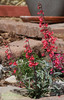 Superb Penstemon