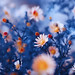 orange flower in blue background by ♥Oxygen♥
