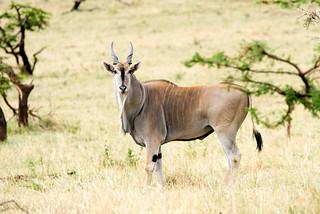 Eland Antelope, Northern Serengeti, Tanzania