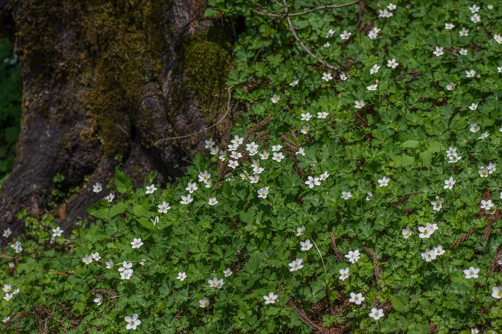 Anemone flaccida