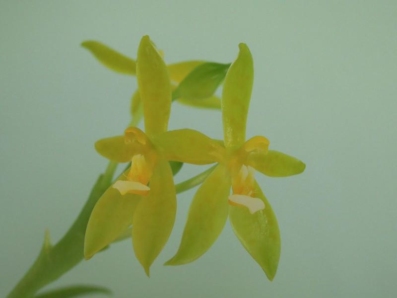 Phalaenopsis cornu-cervi 9150684758_a121733ca8_c