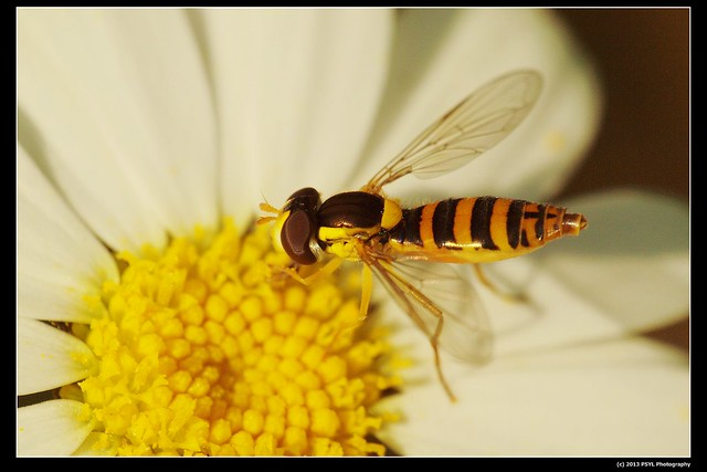 Syrphid fly on Ox-eye daisy
