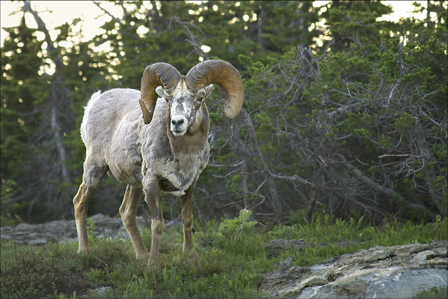 Bighorn Sheep (Mouflon Canadien)