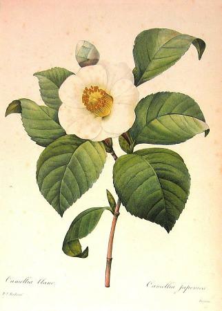 Camellia botanical print