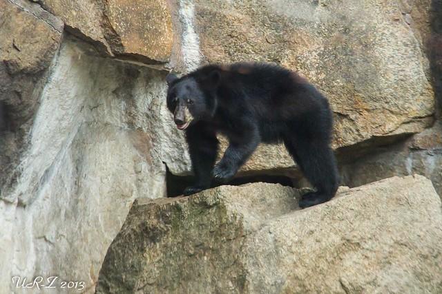 1-Baribal-Jungbär Koda oder Kanai