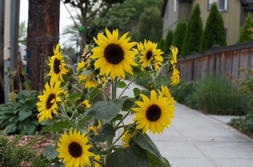 Sunflowers on Delridge Way SW