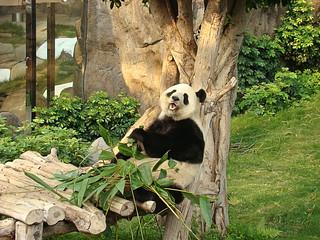 147 Reuze panda zit te eten