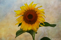 sunflower ~