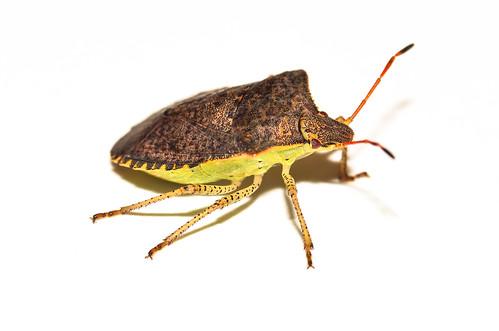 Consperse Stink Bug