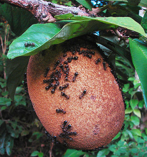 Theobroma grandiflorum, with ants