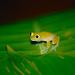 Taylor's Glass Frog (Hyalinobatrachium taylori) ©berniedup