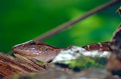 Striped Forest Whiptail (Kentropyx calcarata)