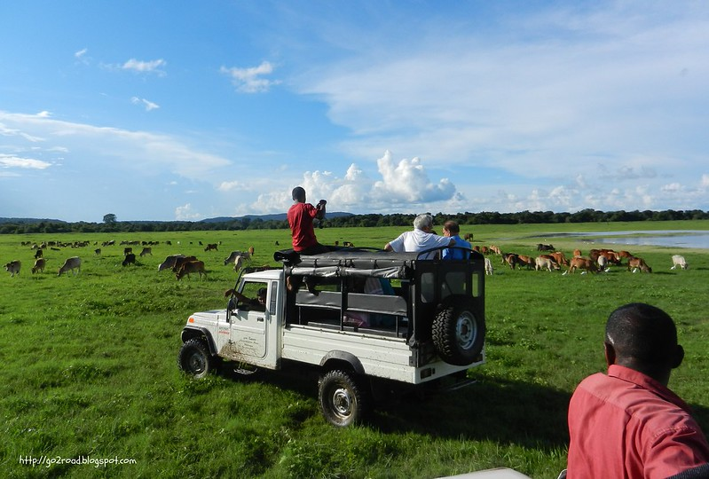 Выпас домашних коров в национальном заповеднике Миннерия