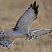 Northern Harrier (Circus cyaneus) by Ron Wolf