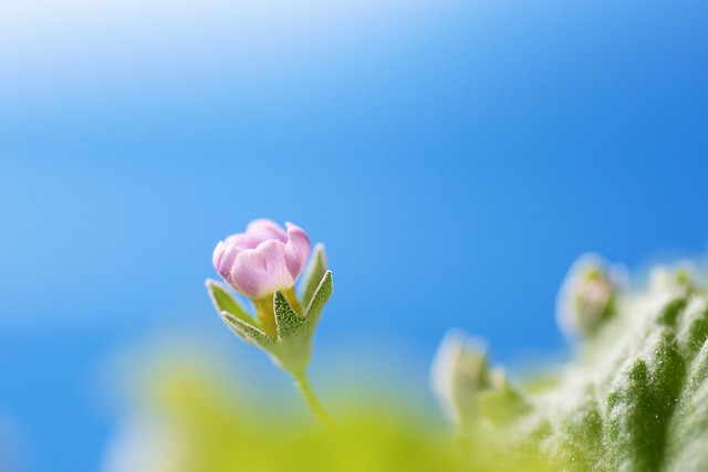 写真_嘘から出た小さな花