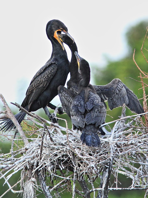 Double-crested Cormorant feeding chicks 06-20131210
