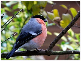 Bullfinch as winter arrives!