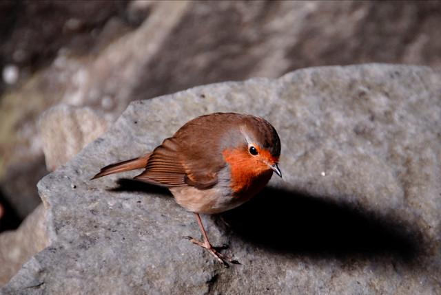 Cave dwelling Robin