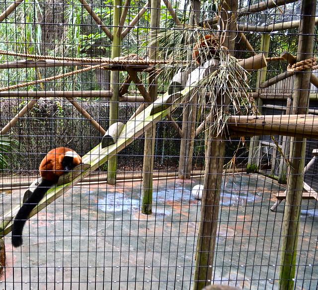 lemurs exhibit - florida zoos