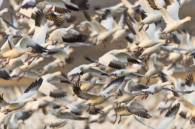 Dave - Snow Geese in flight